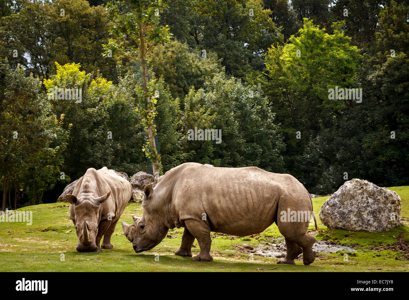 Le zoo parc de Beauval, rhinocéros blanc, France. Photo Stock