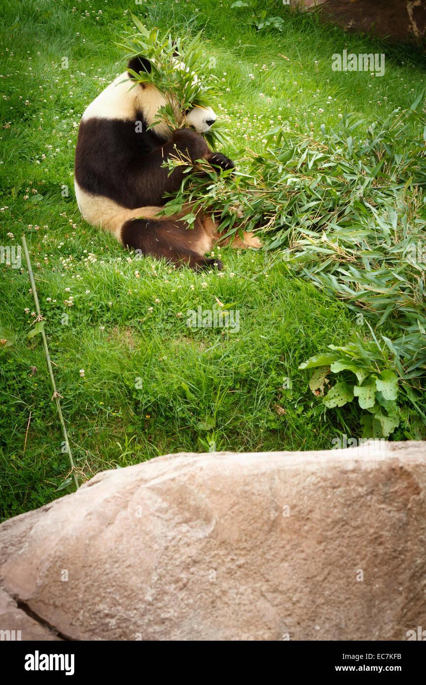 Le zoo parc beauval grand panda (Ailuropoda melanoleuca) Photo Stock