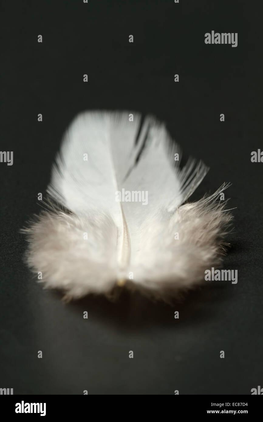 Plume blanche close-up, un arrière-plan sombre. Photo Stock
