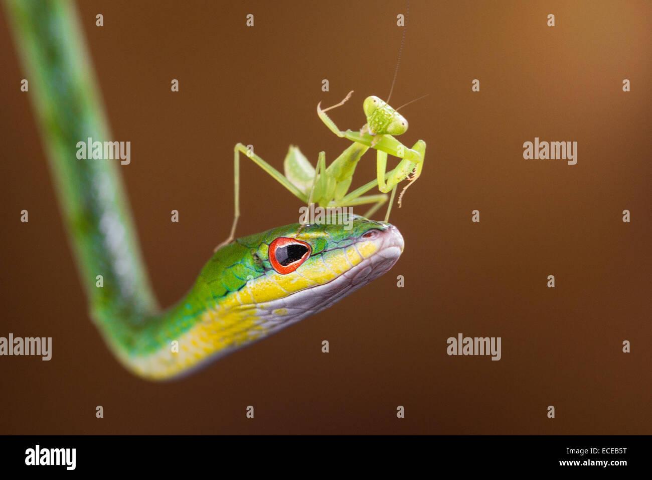 L'Indonésie, les Îles Riau, ville de Batam, Mantis sur snake Photo Stock