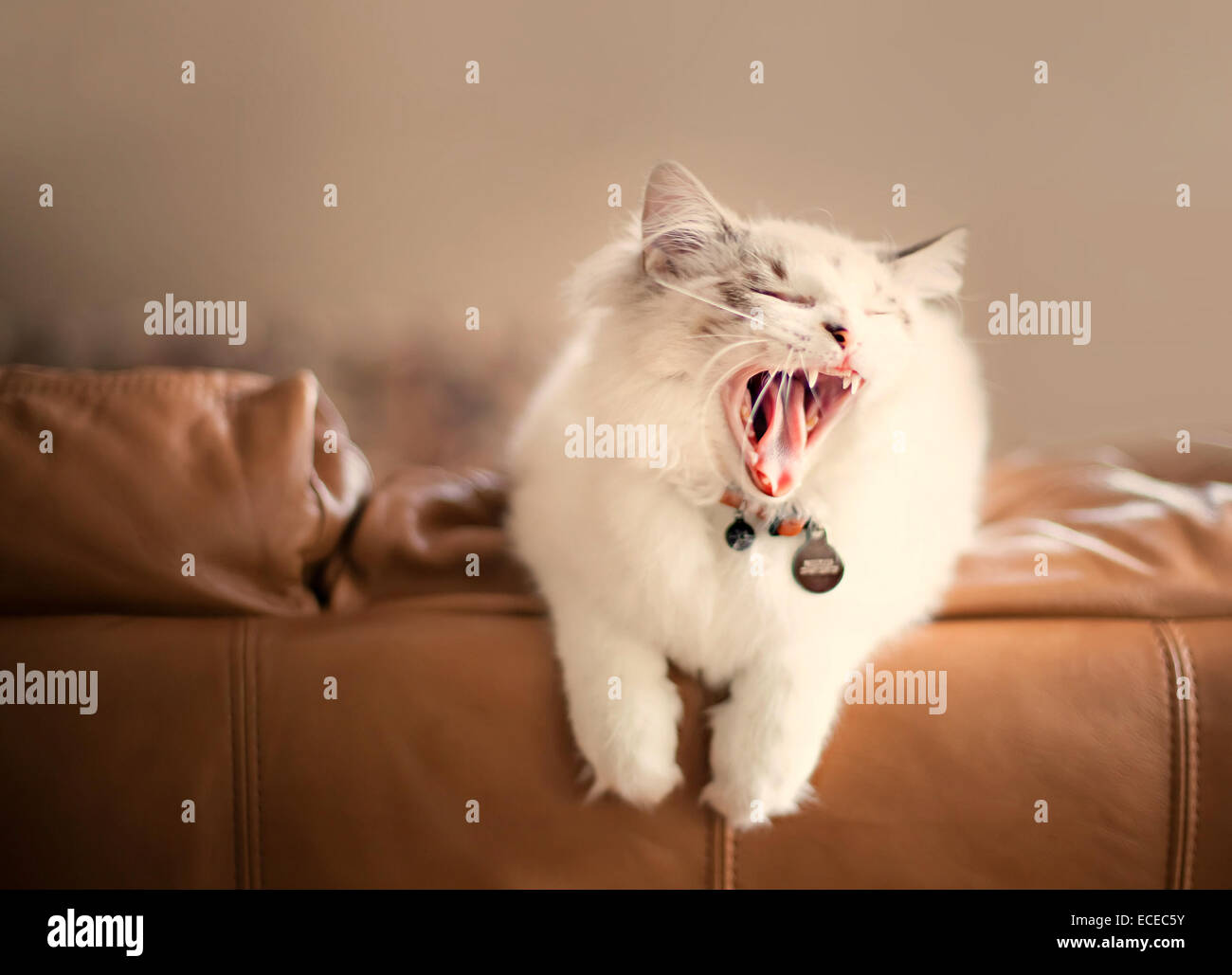 Cat sitting on a couch yawning Banque D'Images