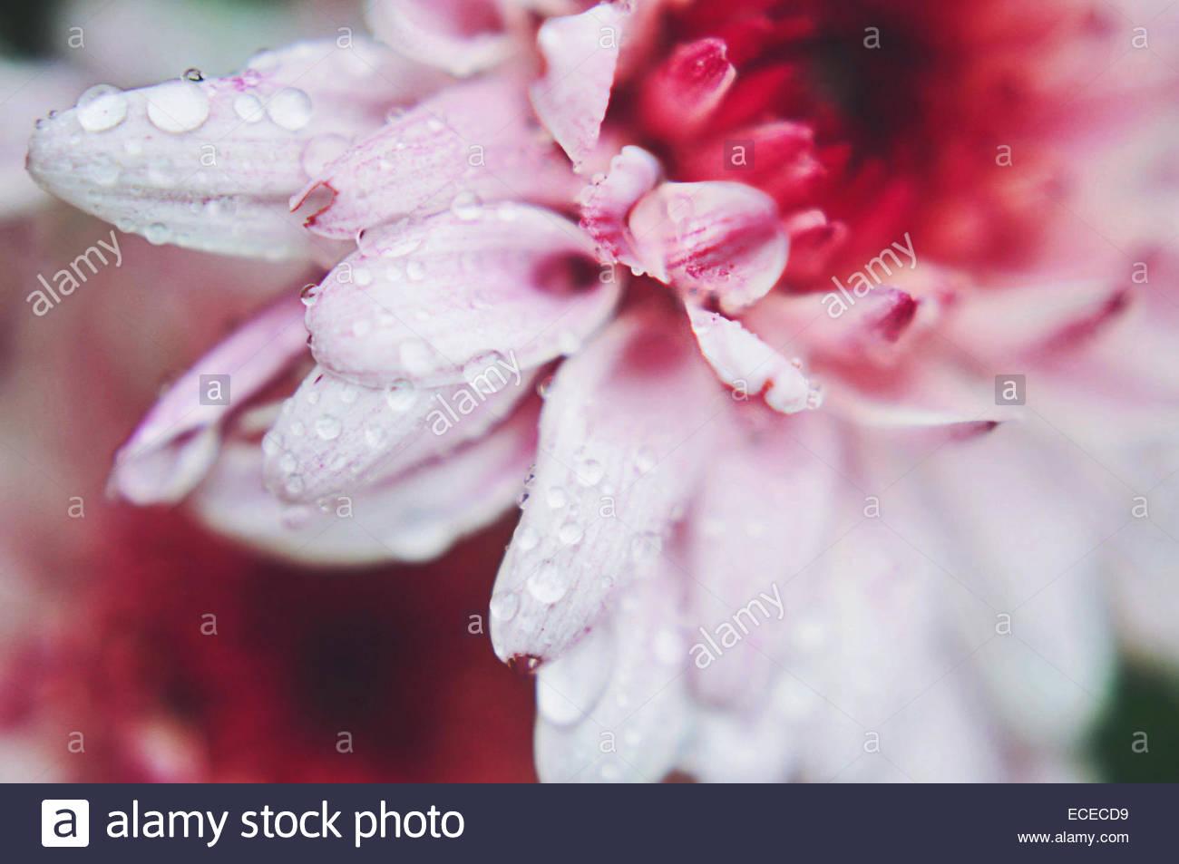 Rose Macro fleur de chrysanthème avec les gouttelettes d'eau Photo Stock