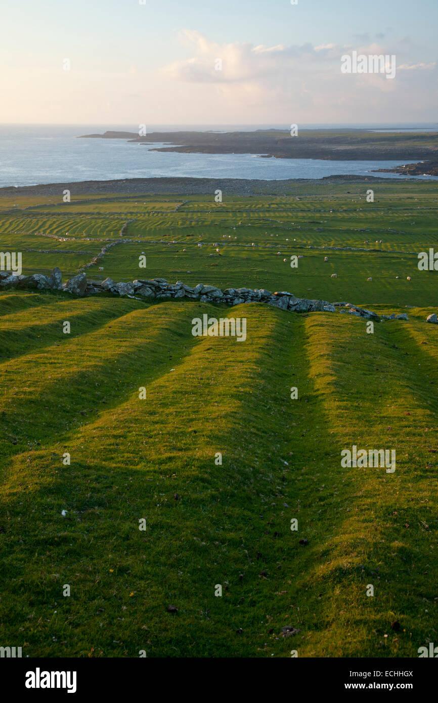 Vieux lits paresseux (pomme de terre) sur les exercices d'Inishkea Île du Sud, dans le comté de Mayo, Photo Stock
