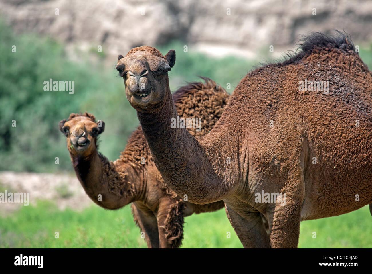 Le dromadaire / chameau d'Arabie (Camelus dromedarius), femelle et son veau dans le désert de Karakoum, le Turkménistan Banque D'Images