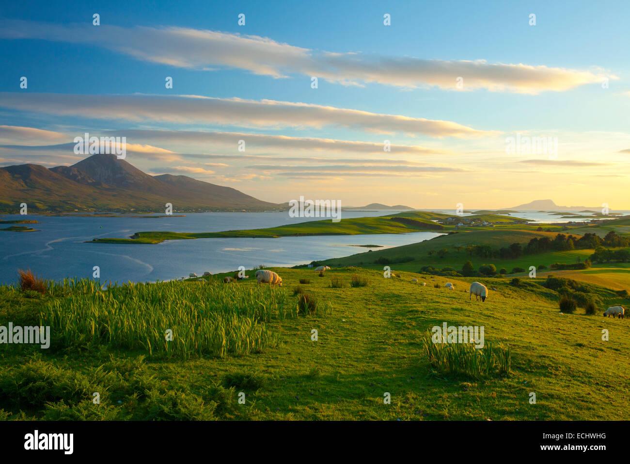 Le pâturage des moutons sous le mont Croagh Patrick sur la rive de Clew Bay, comté de Mayo, Irlande. Photo Stock