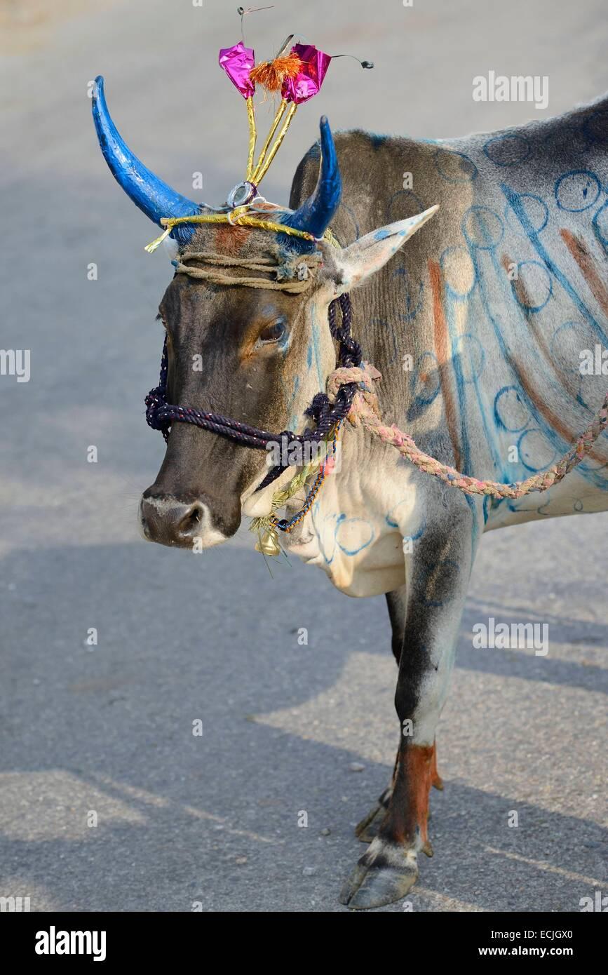 L'Inde, Rajasthan, Udaipur région, Diwali festival, Holy Cow avec cornes fraîchement peint le quatrième Photo Stock