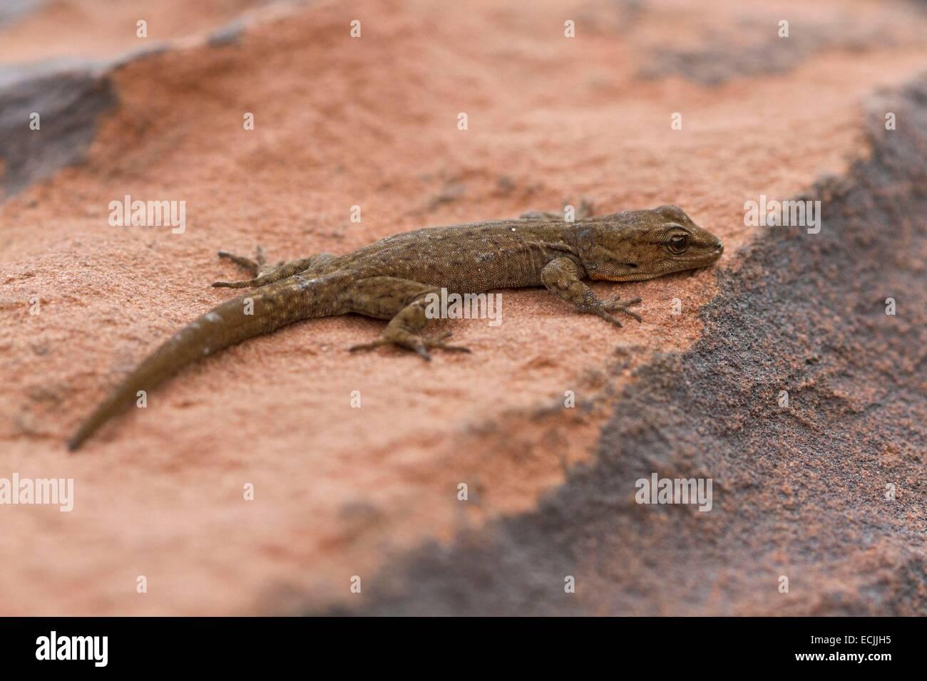 Le Maroc, Haut Atlas, Gecko épineuse de l'œil (Quedenfeldtia trachyblepharus) Photo Stock