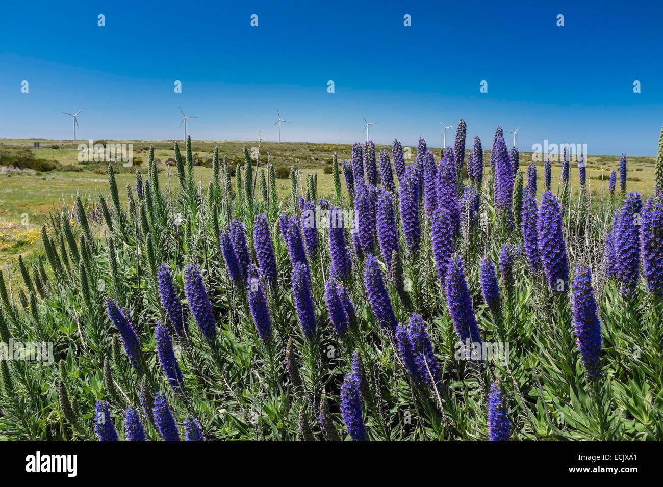 Le Portugal, l'île de Madère, Paul da Serra plateau dans le centre de l'île, Echium candicans Photo Stock