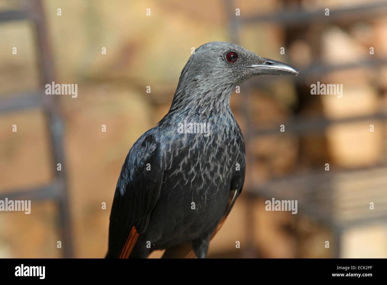 Cape Red Winged Starling Onychognathus morio Cape Province Afrique du Sud Banque D'Images