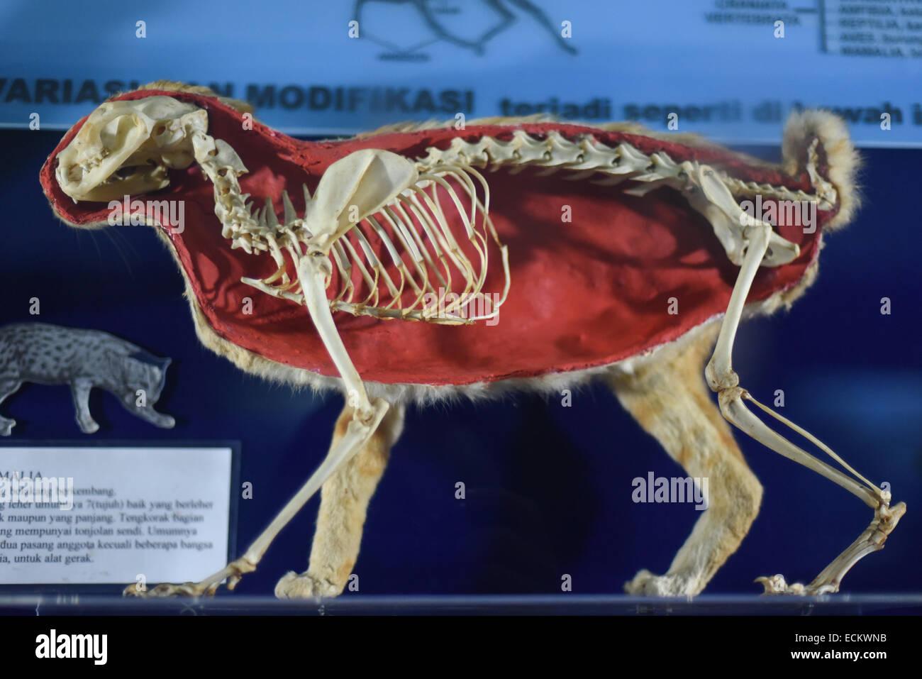 Un affichage de la structures des vertébrés mammifères au Musée de zoologie. Photo Stock