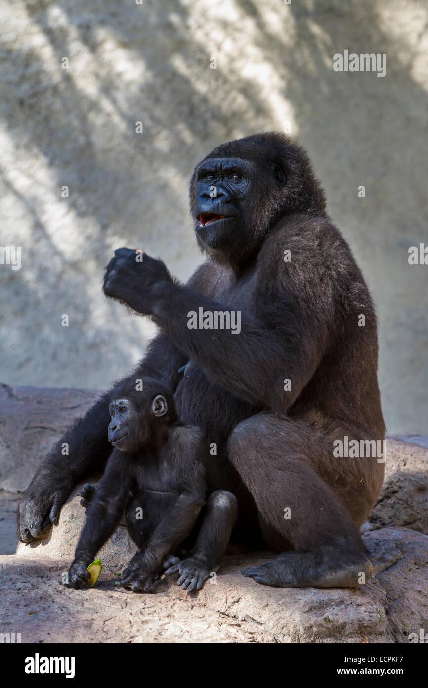 Le gorille et les jeunes au Zoo de Gladys Porter dans la région de Brownsville, Texas, USA. Photo Stock