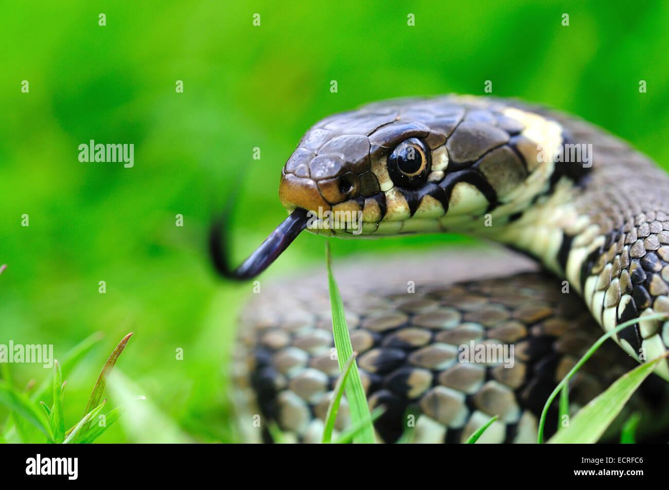 Grass snake avec sa langue fourchue hors UK Photo Stock