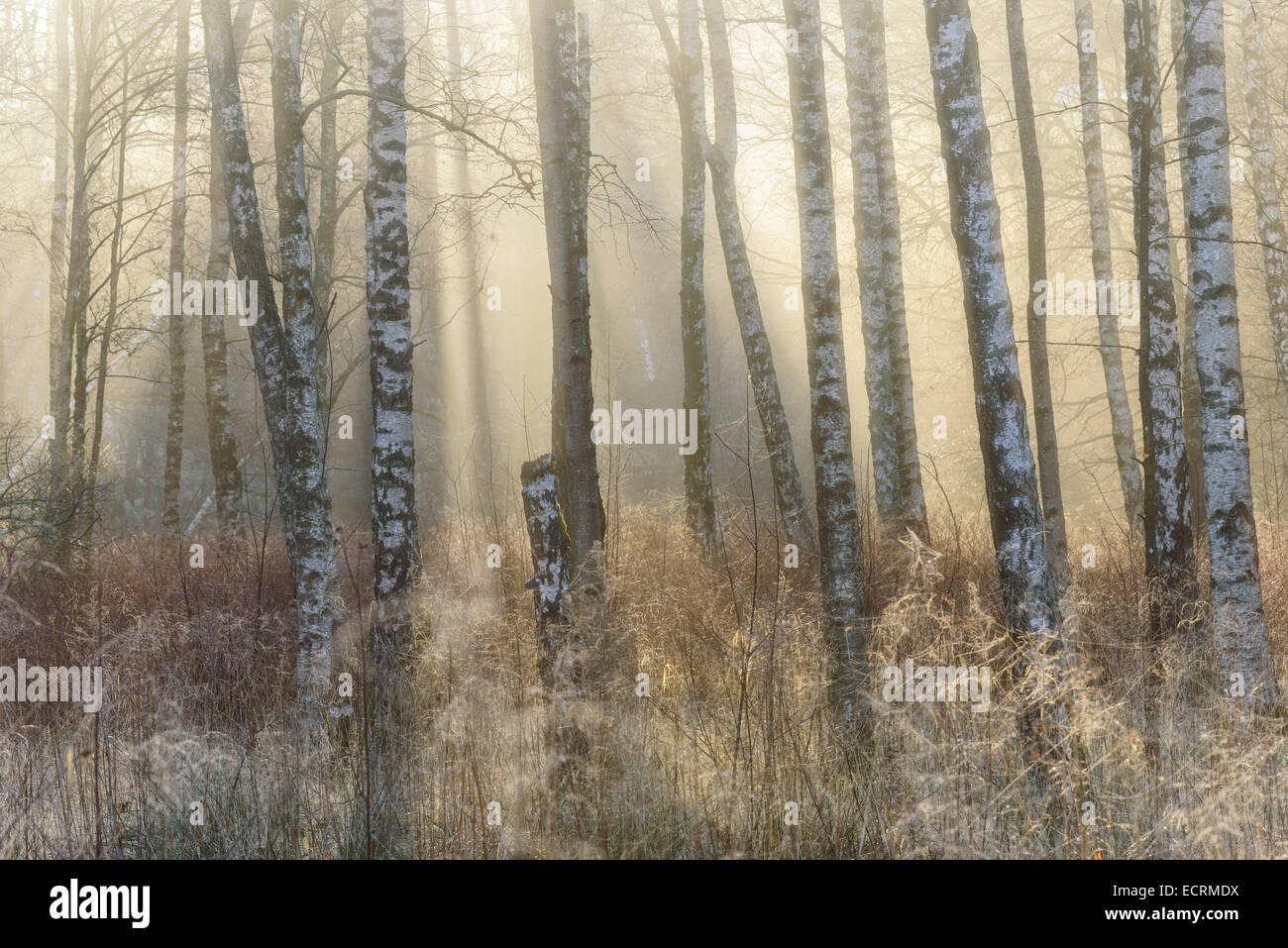 Bouleaux et de hautes herbes dans une forêt brumeuse Photo Stock