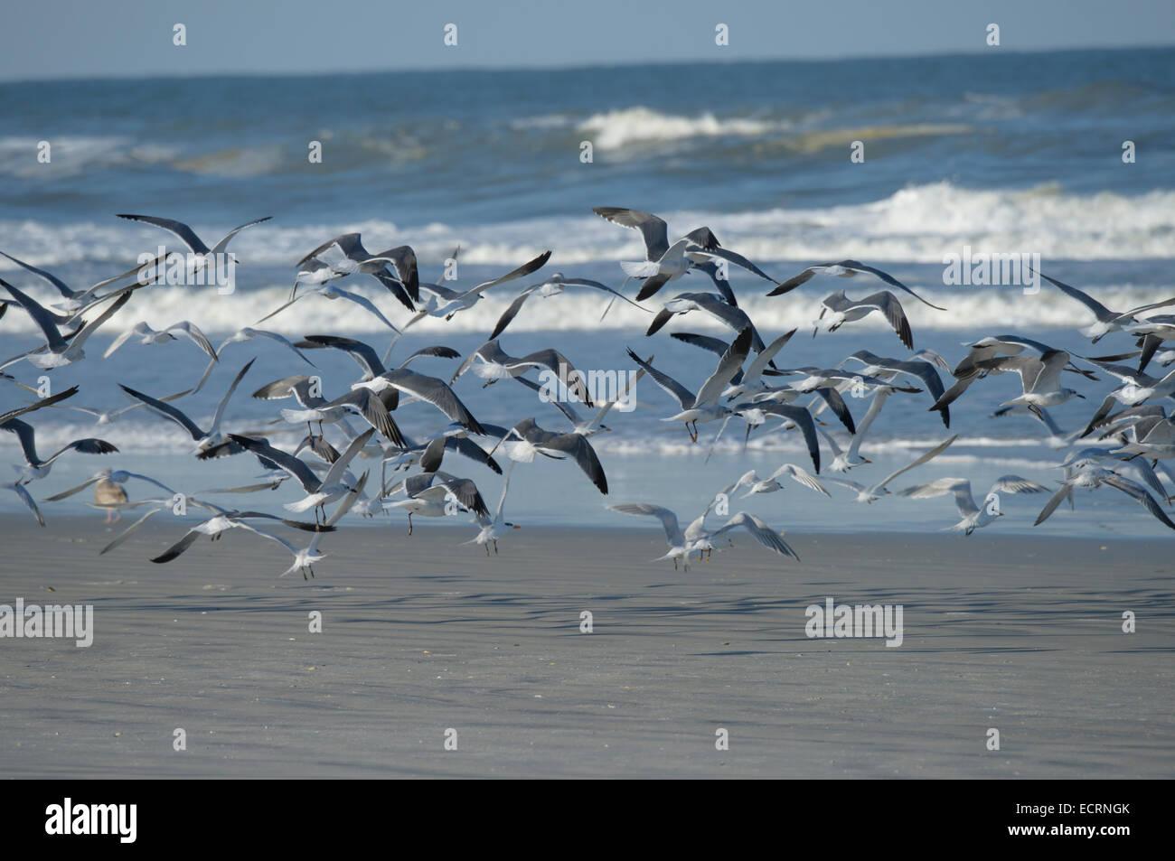 Les goélands et les oiseaux de rivage de Sternes voler à partir de la plage de Lighthouse Point Park, Photo Stock