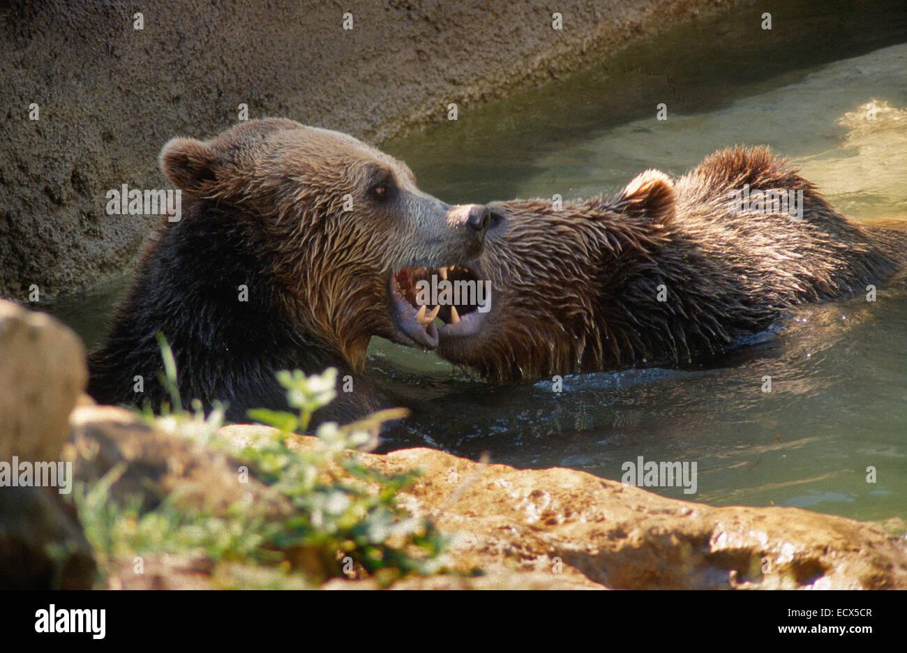 Ours brun, Ursus arctos, Ursidae, Zoo de Rome, Italie Photo Stock