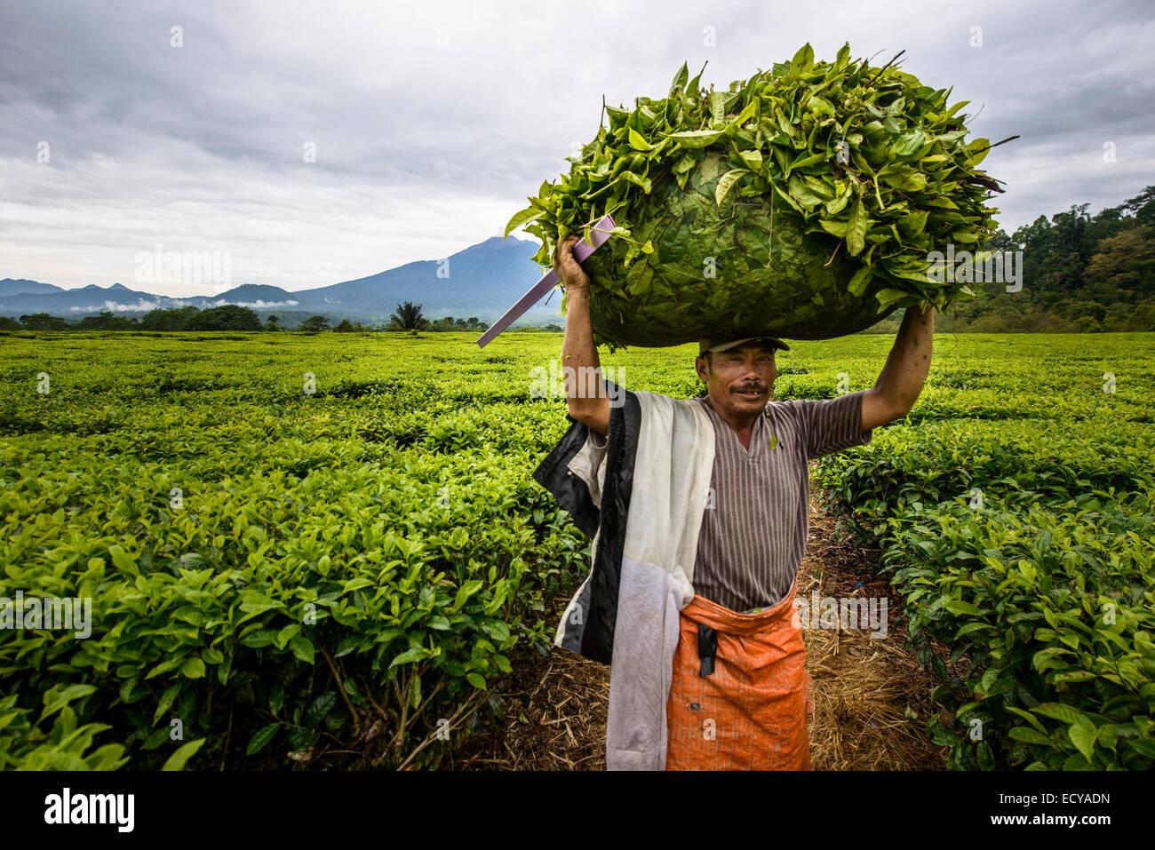 Les ramasseurs de feuilles de thé à Sumatra, Indonésie Photo Stock