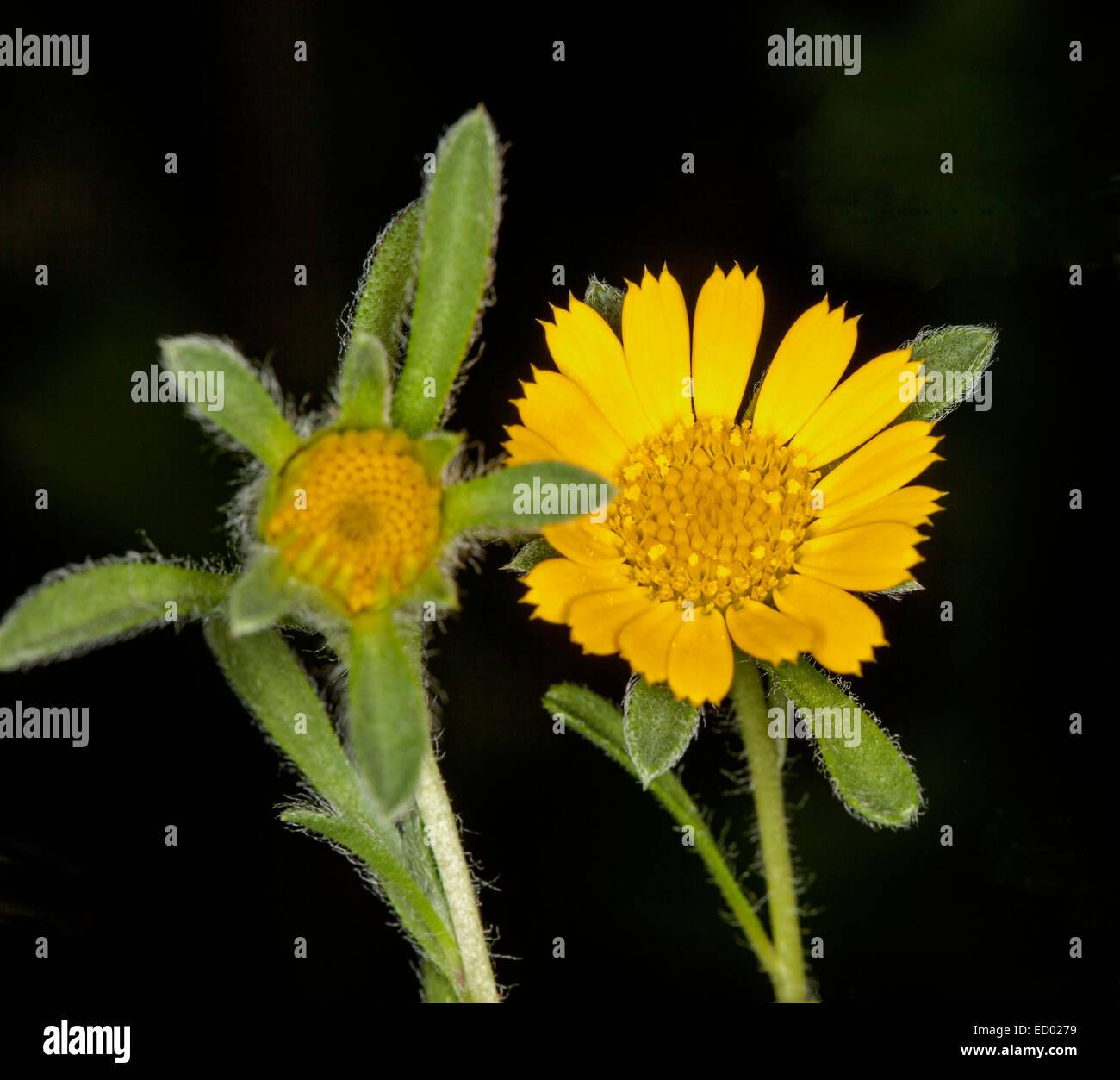une plante Martin 1er avril trouvée par Jov' Fleur-jaune-feuilles-vertes-et-velues-de-asteriscus-maritimus-teris-jaune-plage-mediterraneenne-daisy-sur-fond-noir-ed0279