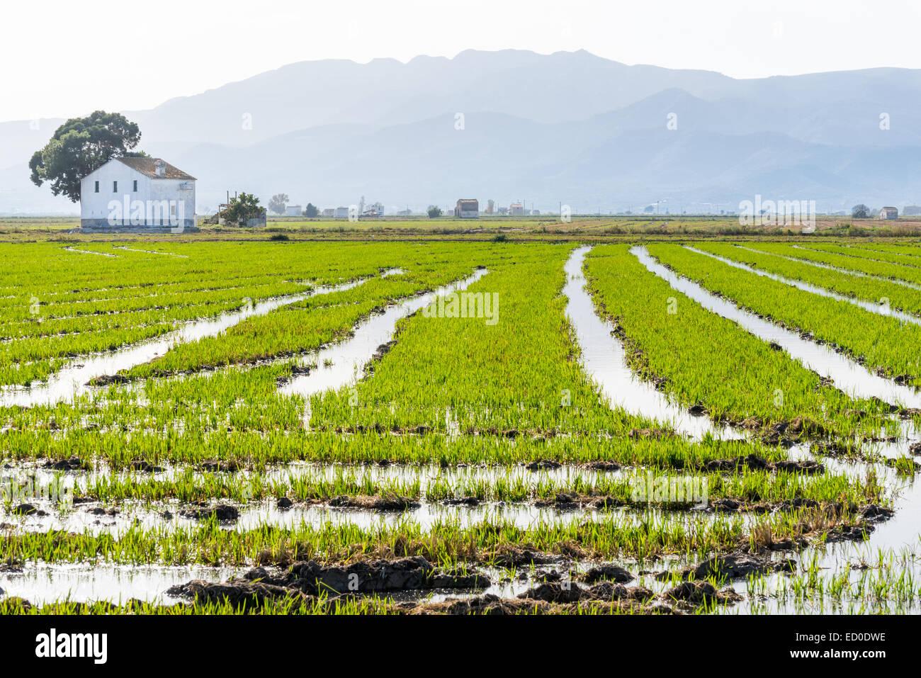 Espagne, Catalogne, Gérone, Amposta, Parc National du Delta de l'Ebre, champ de riz avec l'arrière Photo Stock