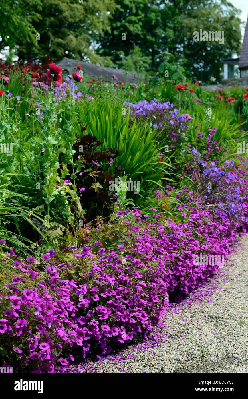 Geranium psilostemon bordure rose fleur fleurs avant la for Plantation de fleurs
