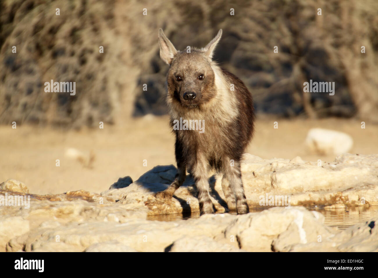 Brown Hyaena brunnea Parahyena point d'eau potable à un Parc National transfrontalier de Kgalagadi en Afrique du Banque D'Images