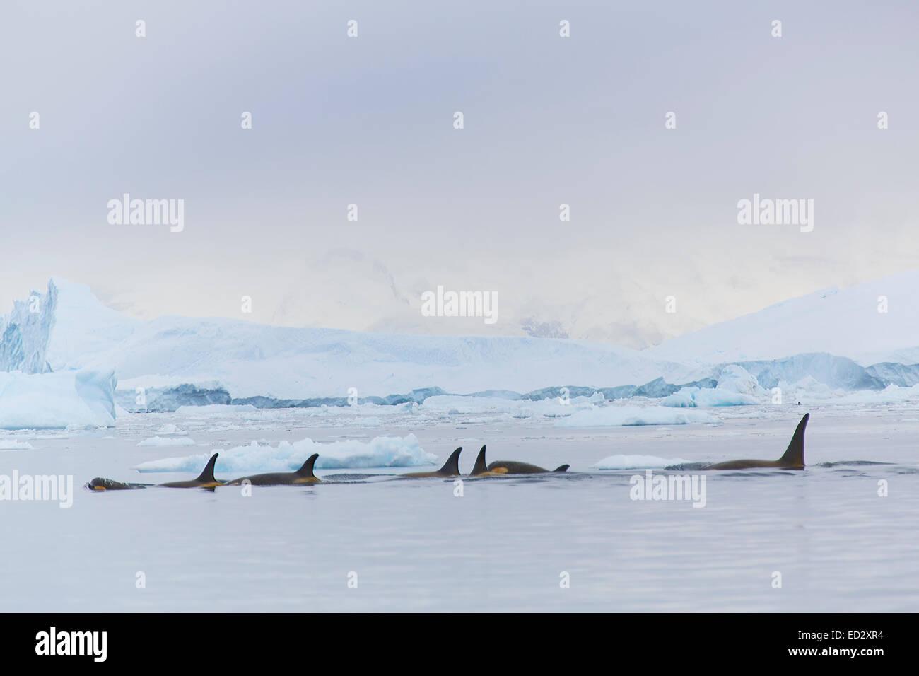 L'épaulard, Neko Harbour, l'Antarctique. Photo Stock