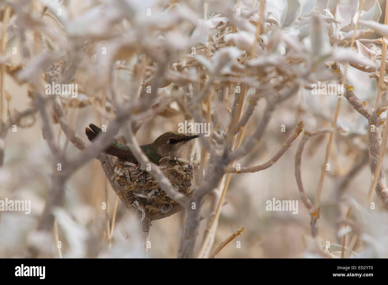 Nid de Colibri, Anza-Borrego Desert State Park, Californie. Photo Stock