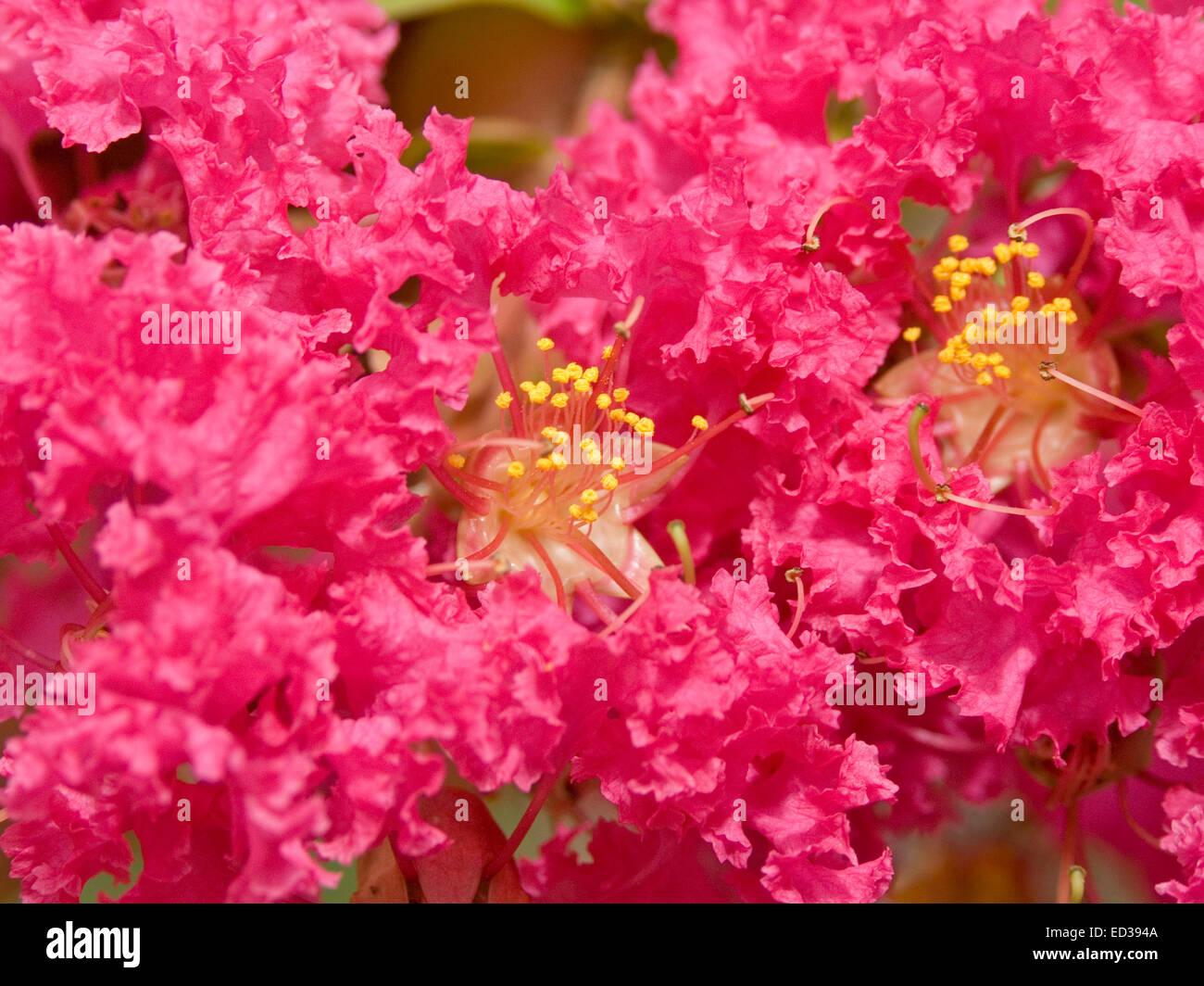 Close Up De Grande Grappe De Fleurs Rose Rouge Vif De