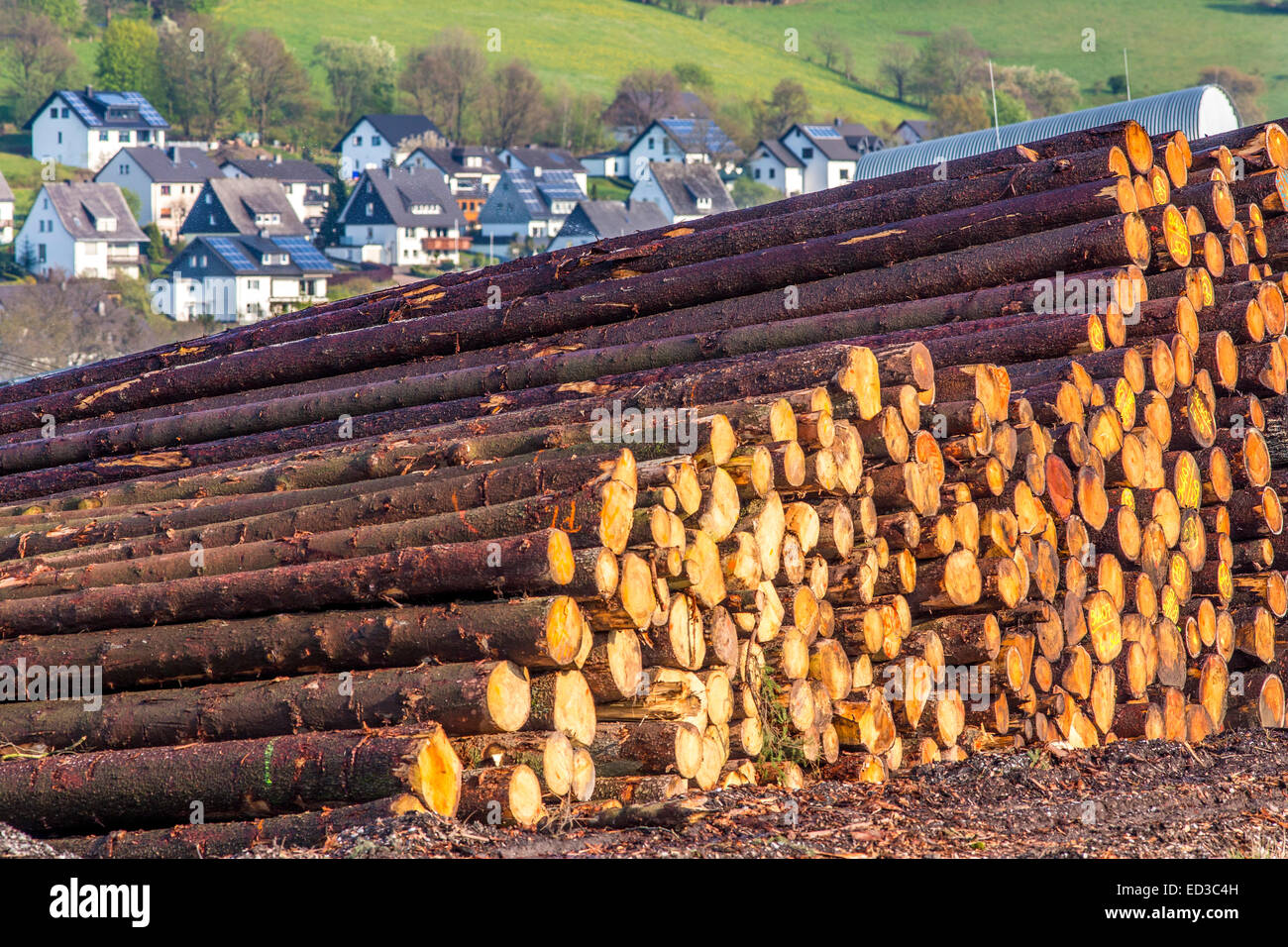 L'industrie forestière, fouetté, pins sont empilés et l'attente pour la suite du traitement, Photo Stock