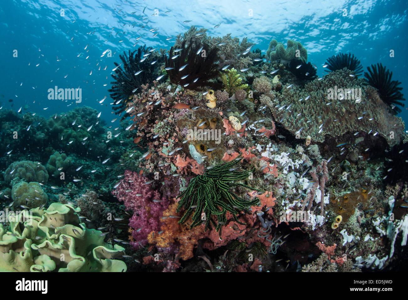 Un beau récif corallien sain et pousse en Indonésie. Cette partie du Pacifique abrite une grande quantité de vie Banque D'Images