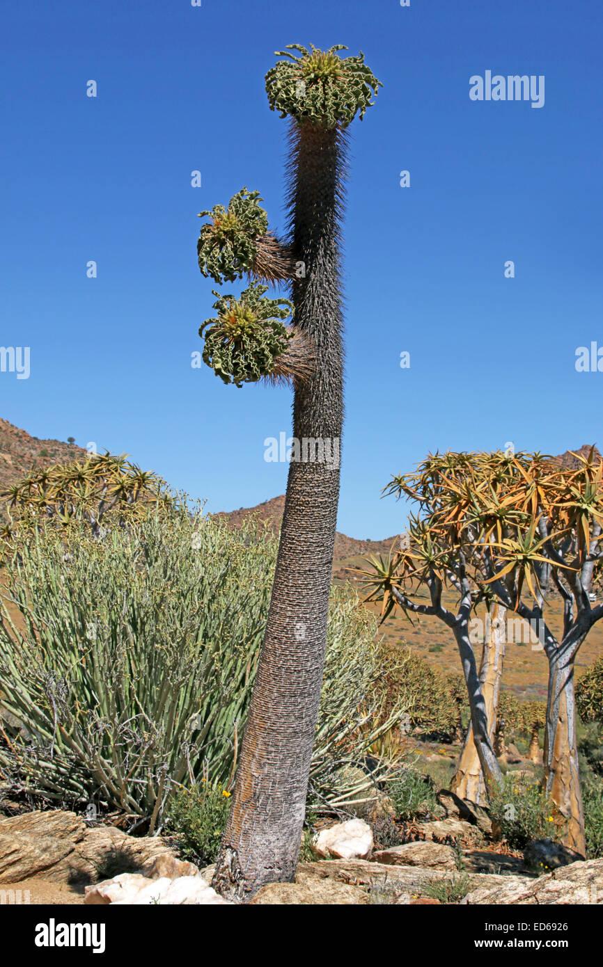 Halfmens Pachypodium namaquanum Usine et Kokerboom Le Namaqualand Northern Cape Afrique du Sud Banque D'Images