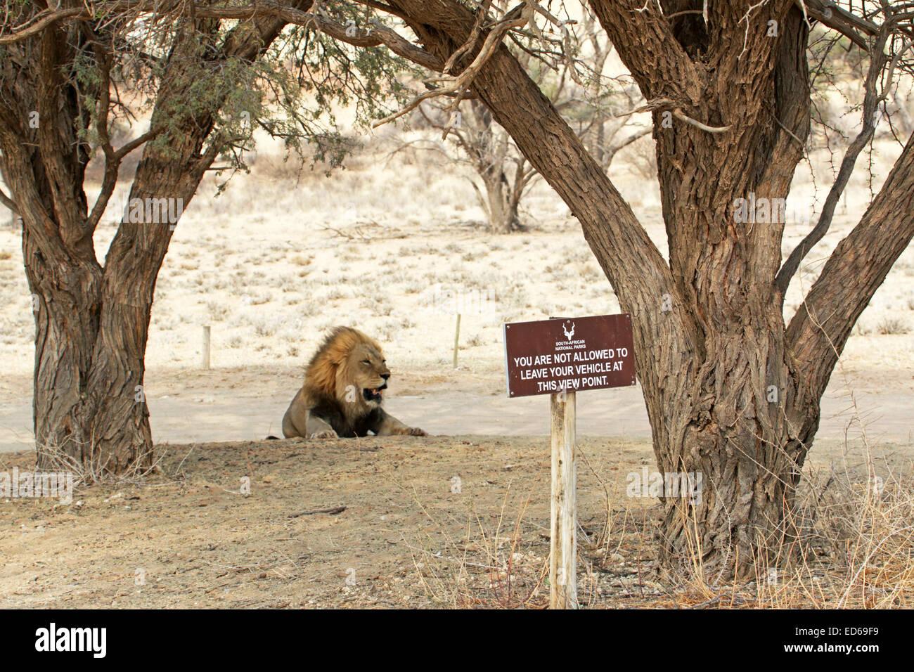 Un grand mâle lion reposant derrière panneau d'avertissement ne pas laisser votre voiture Kgalagadi Transfrontier Banque D'Images