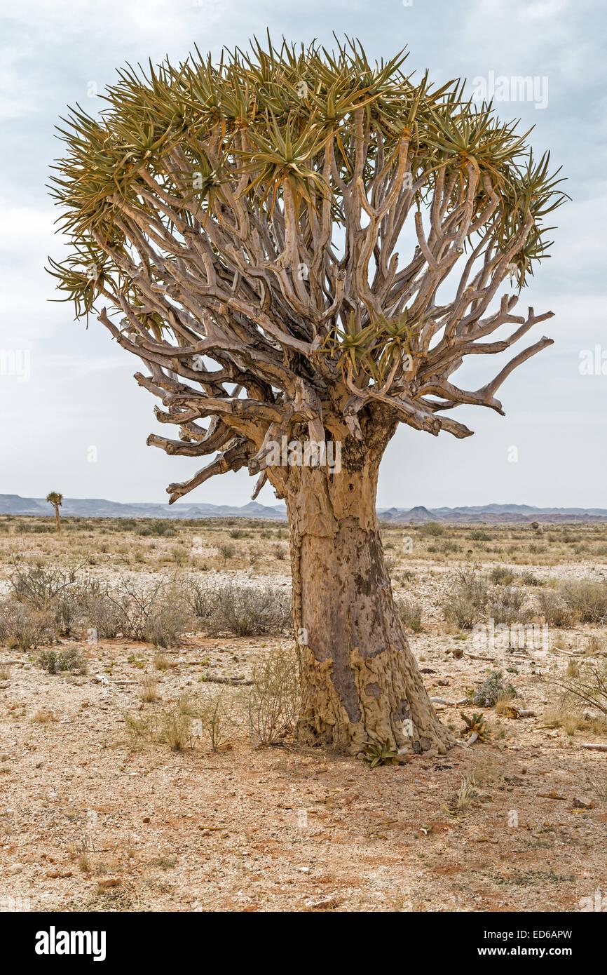 Aloe Dichotoma Quiver Tree Augrabies Falls National Park Le Namaqualand Northern Cape Afrique du Sud Photo Stock