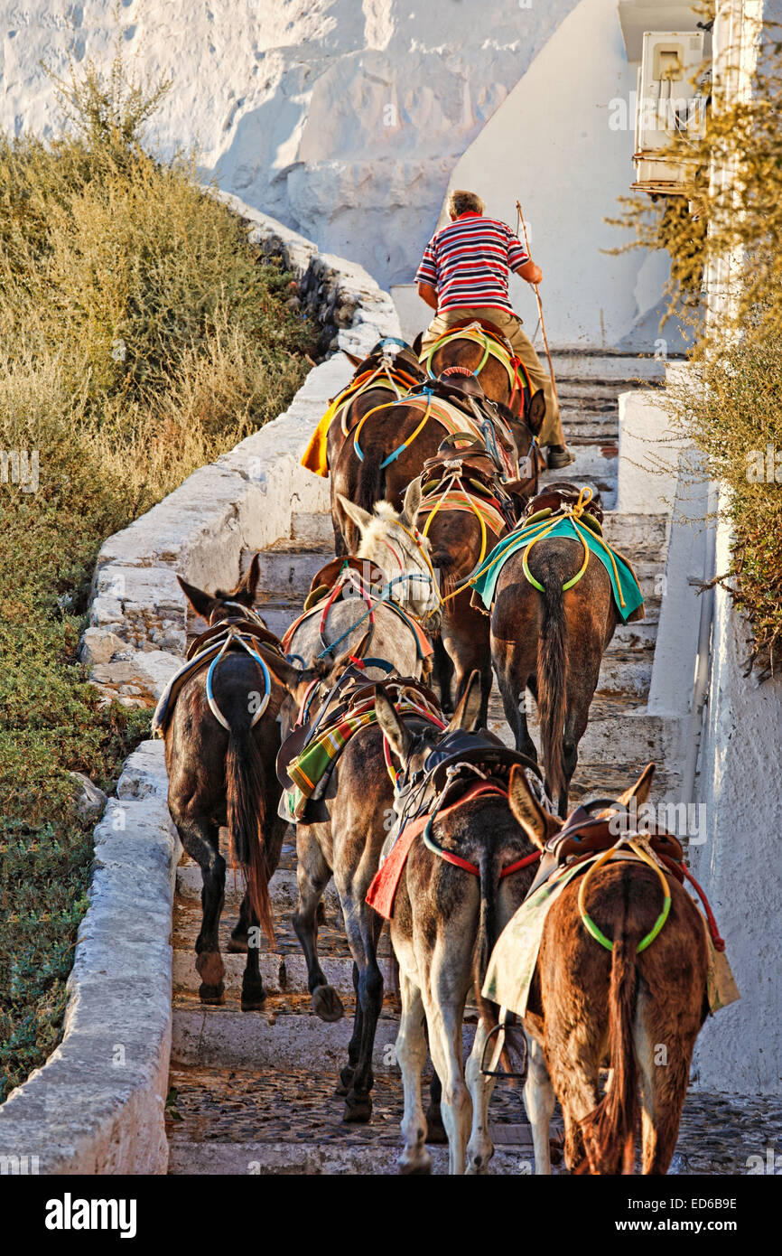 Un Guide mule avec son troupeau, il monte les escaliers de Santorini, Grèce Photo Stock