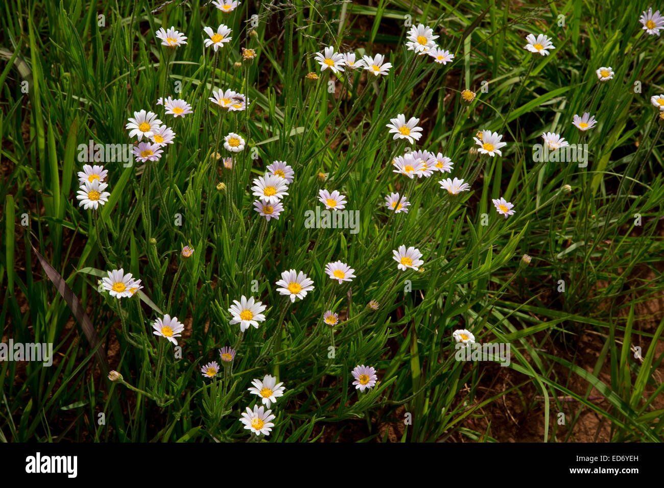 Bakerianus Aster, montagnes du Drakensberg, Afrique du Sud Photo Stock