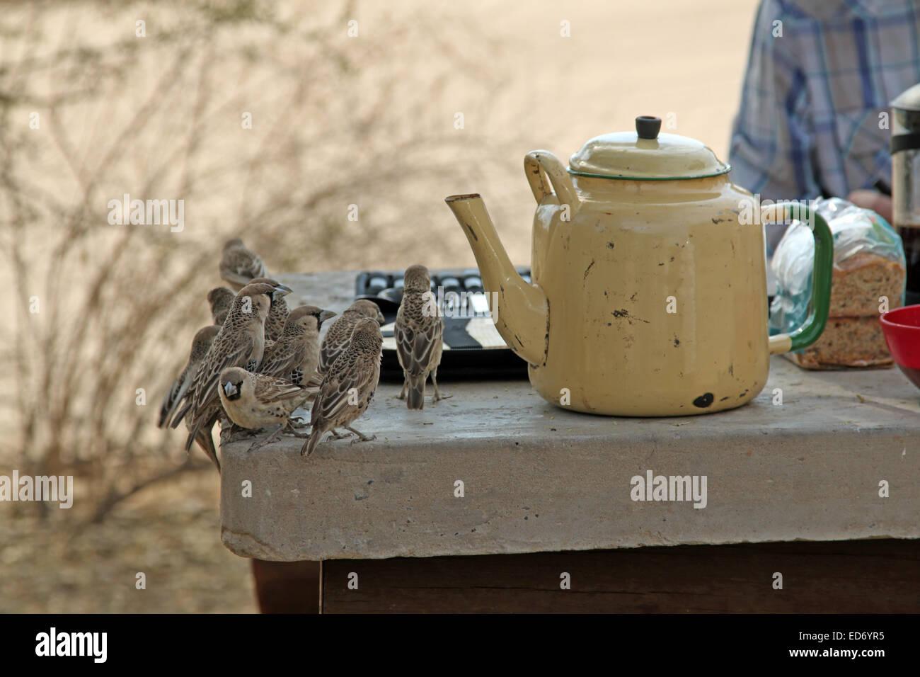 Sociable Weaver oiseaux philetairus socius curieux visiteurs à l'endroit de pique-nique Kgalagadi Transfrontier Banque D'Images