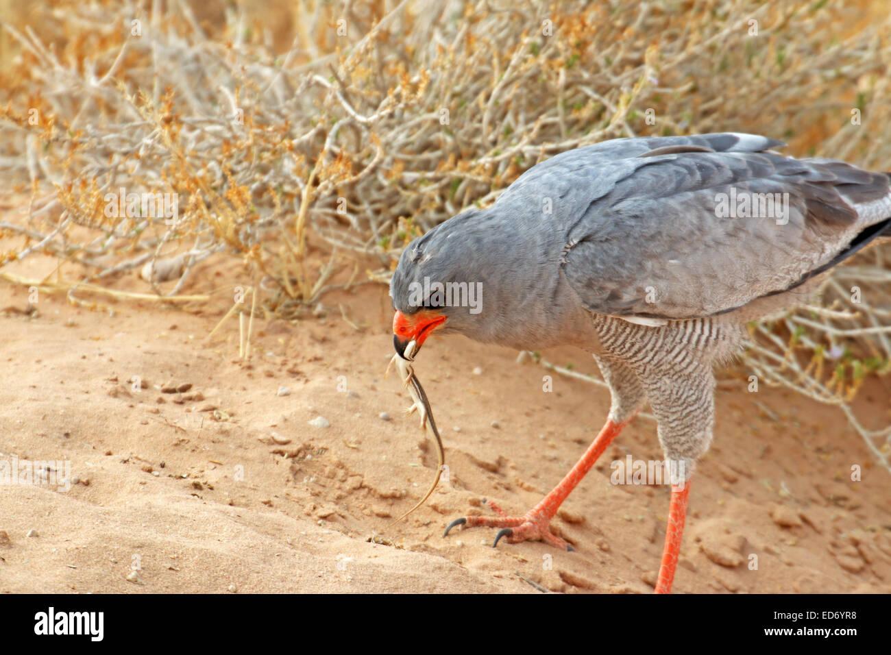 Le Chant des palombes Melierax canorus Pale attraper un lézard et le manger au Kgalagadi Transfrontier National Banque D'Images