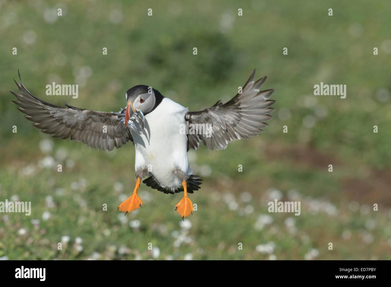 Macareux moine (Fratercula arctica) atterrissage avec un bec plein de poissons Banque D'Images