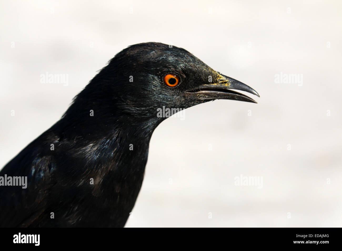 Pale-winged starling Onychognathus nabouroup Augrabies Falls National Park Northern Cape Afrique du Sud Banque D'Images