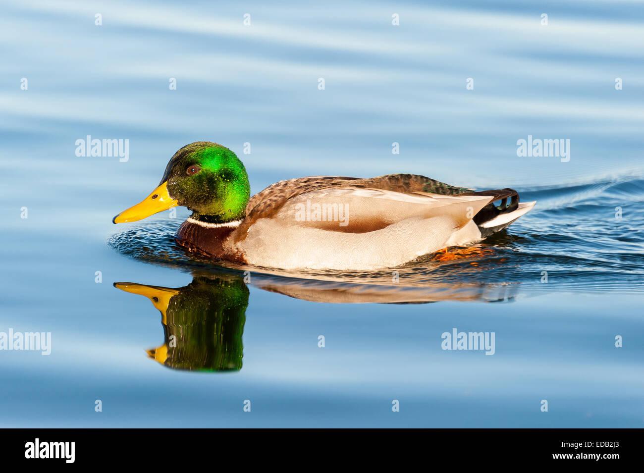 Exemple de mâle canard colvert adultes natation calmement dans l'eau d'un lac bleu Photo Stock