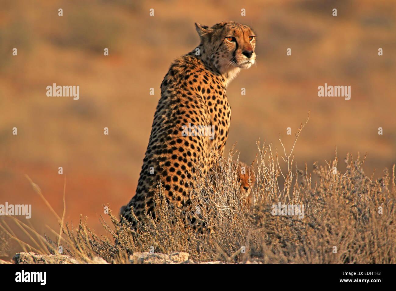 Et cheetah cub à côté de mère assis sur l'affût d'observation de la lumière tôt le matin Parc transfrontalier de Banque D'Images