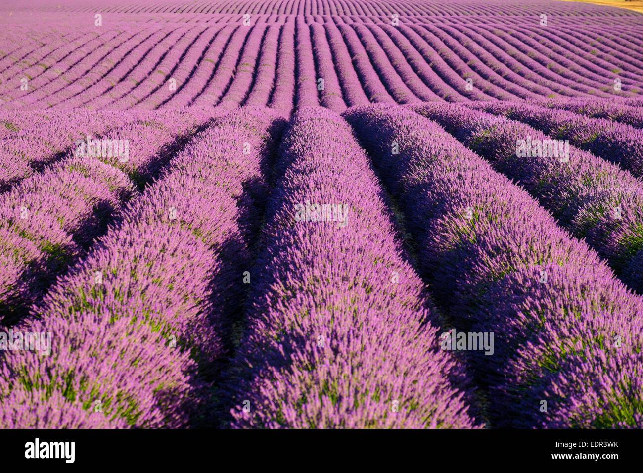 Rangées de lavande pourpre de hauteur de fleurissent au début de juillet dans un champ sur le Plateau de Valensole près de Montagnac-montpezat Banque D'Images