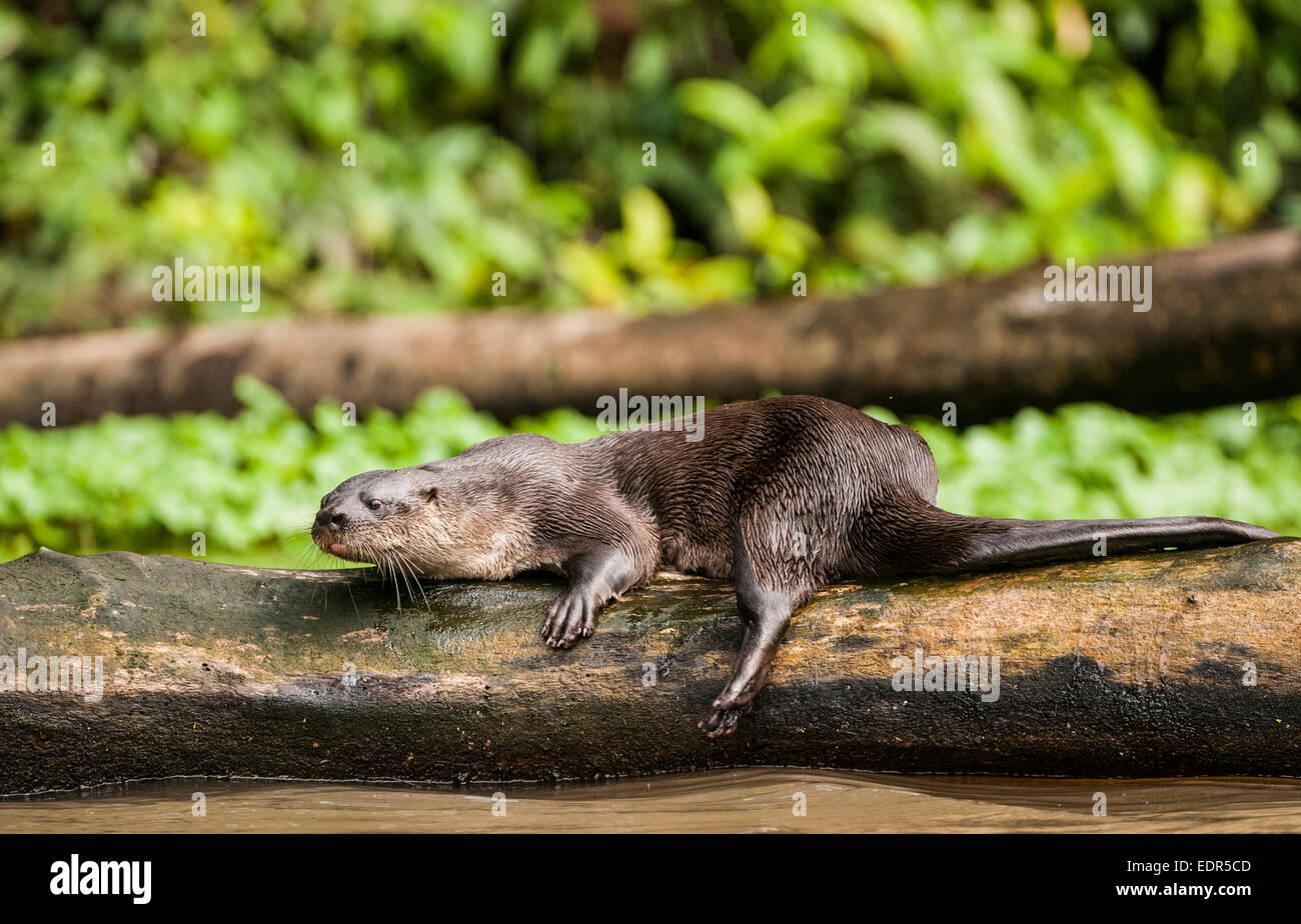Neotropical Loutre de rivière (Lontra longicaudis) Banque D'Images