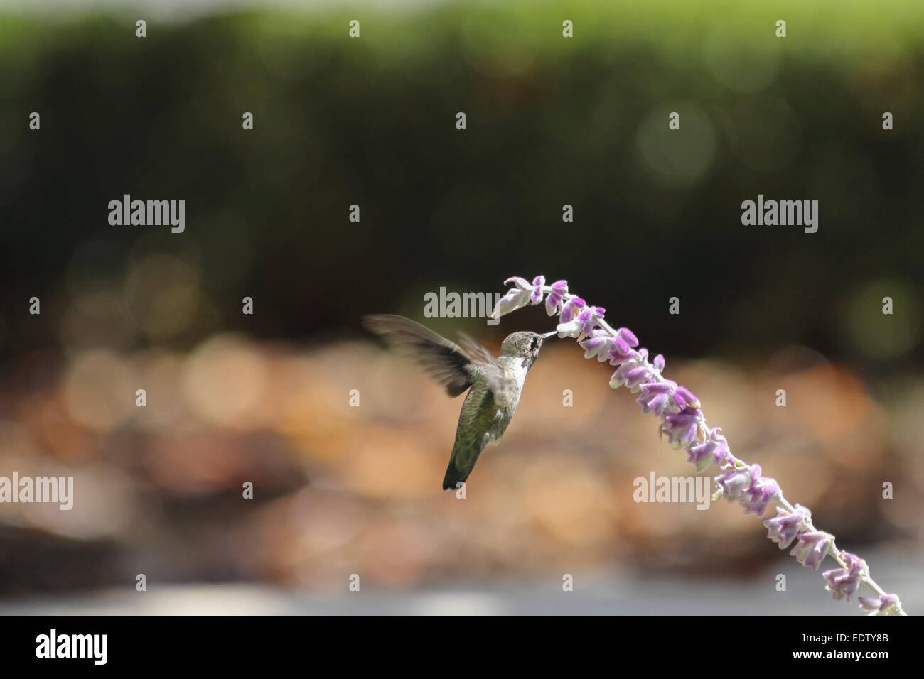 Colibri nectar sipping le matin. Photo Stock