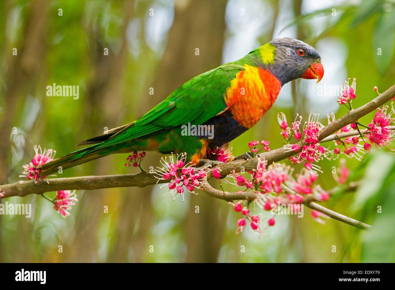 Rainbow lorikeet aux couleurs vives, Australian parrot dans la nature entre les grappes de fleurs roses de l'arbre Photo Stock