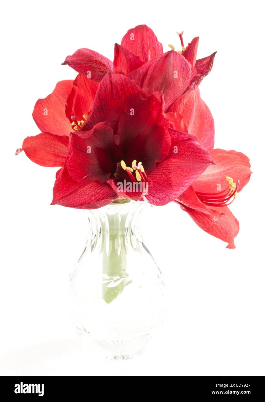 Quatre Amaryllis fleurs dans un vase en verre Banque D'Images