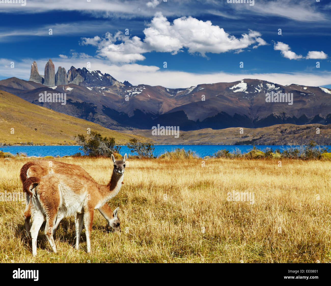 Guanacos dans le Parc National Torres del Paine, Laguna Azul, Patagonie, Chili Photo Stock