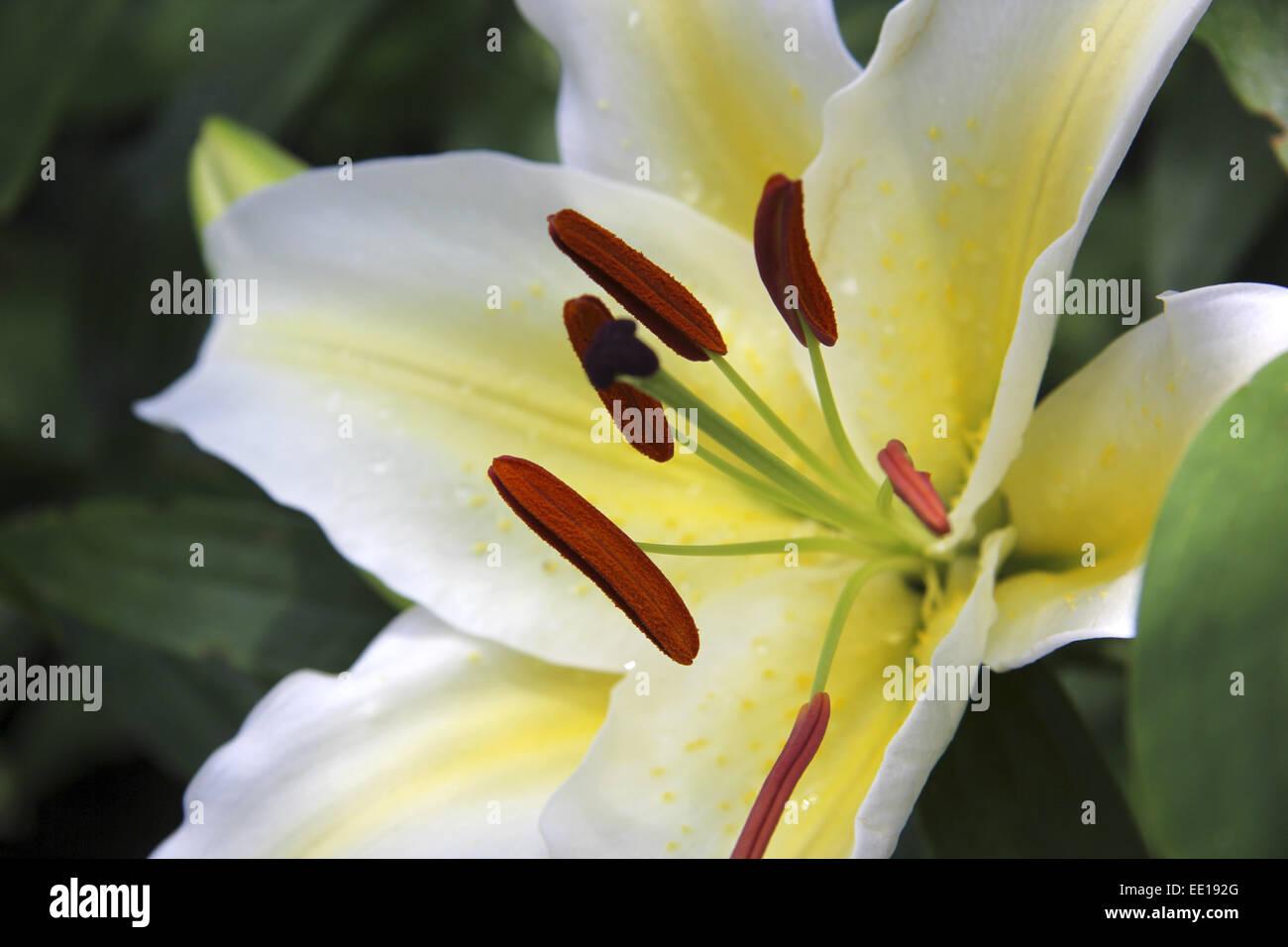 Weisse Konigslilie Lilium Regale Lys Blanc Fleur Fleurs Lys