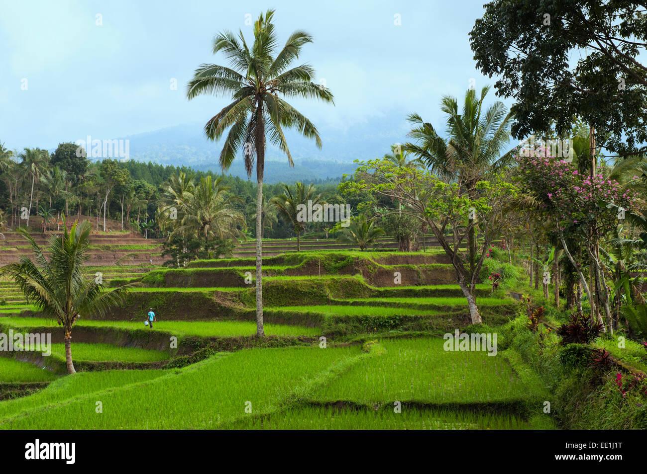 Les rizières en terrasses sur la pente de l'Ijen Kawah Ijen (cratère), Banyuwangi, à l'Est Photo Stock
