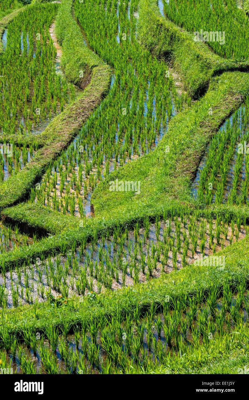 Les rizières en terrasses de Jatiluwih, classé au Patrimoine Mondial de l'UNESCO, Bali, Indonésie, Photo Stock