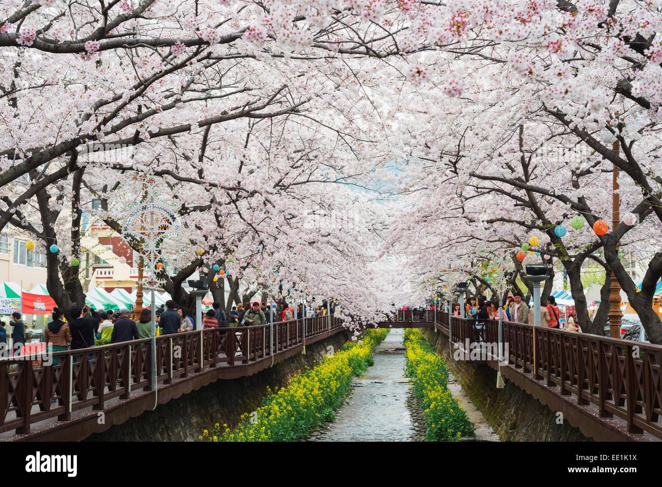 Spring cherry blossom festival, Jinhei, Corée du Sud, Asie Photo Stock